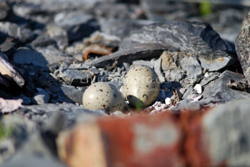 Nest in der Felsenküste