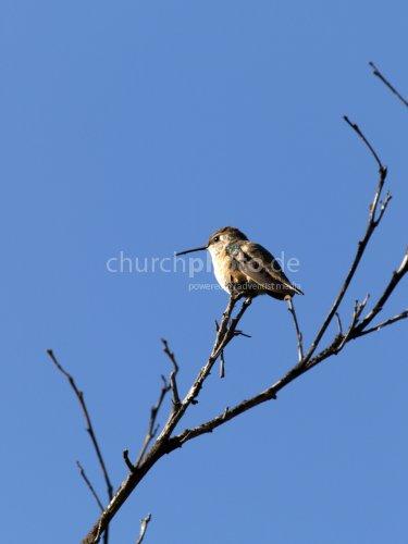Hummingbird in orange tree