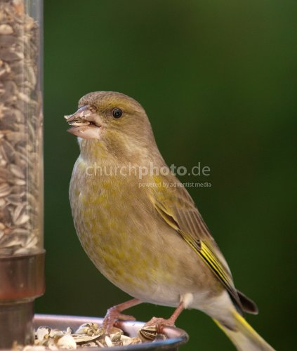 Finch feeding