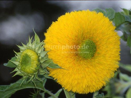 Sonnenblume, gefüllt