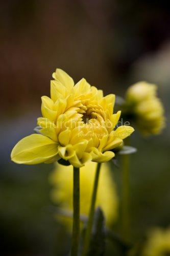 Yellow Dahlia Bud
