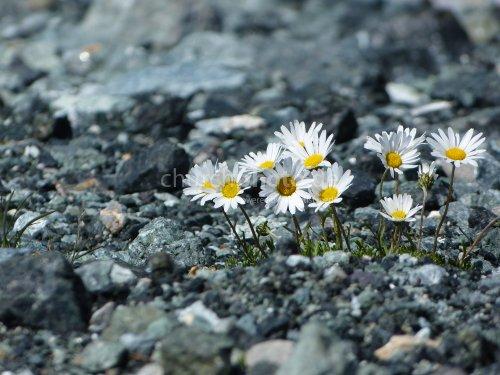 Alpengänseblümchen