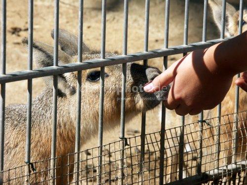 Feeding a Mara