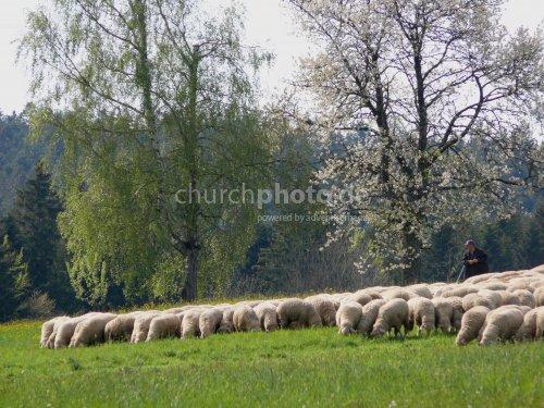 Schafe mit Hirte (Schäfer) - sheep with shepherd