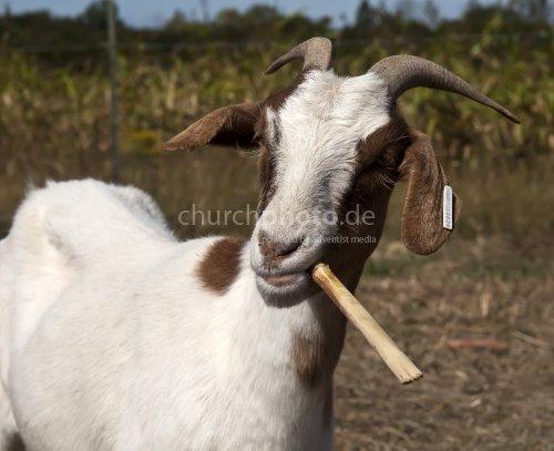 Smokin' goat