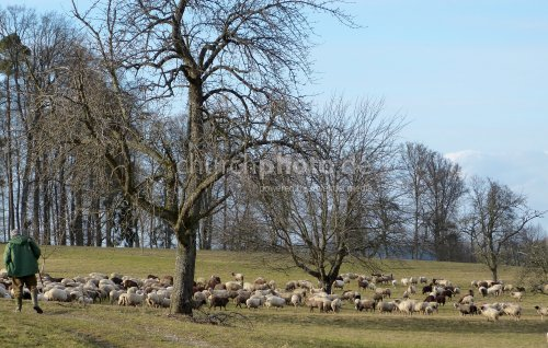 Schafherde und Hirte