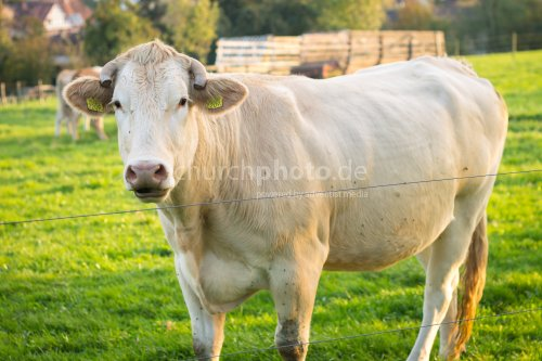 Cow at grass
