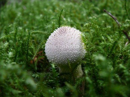 Flaschen-Stäubling, mushroom