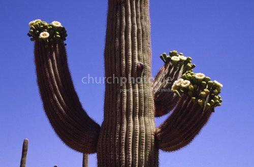 Candelaber cactus