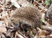 hedgehog dead