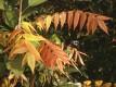 Herbstblaetter am Essigbaum