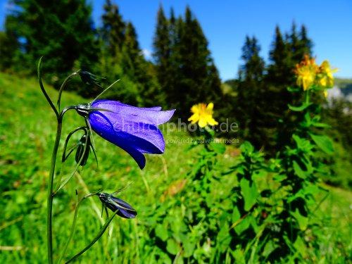 Glockenblume - bellflower