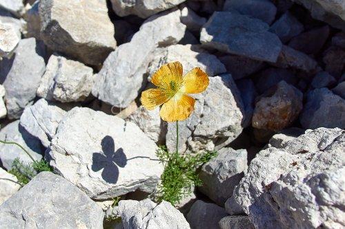 Blume mitten im Steinfeld