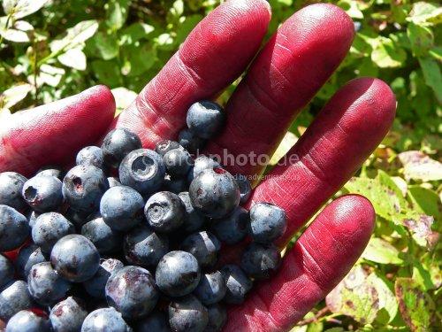 Eine handvoll Blaubeeren