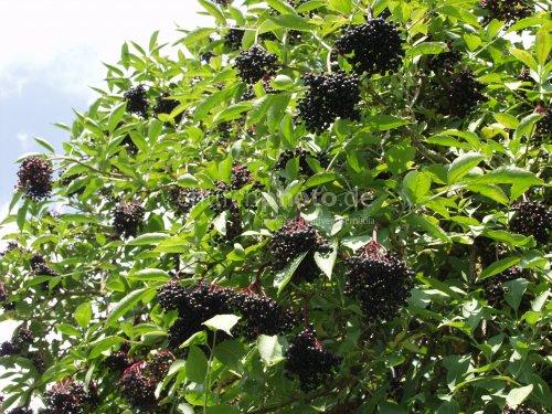 elderberries black