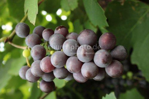 Weintraube im Schwarzwald