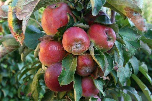 Äpfel aus meinem Garten