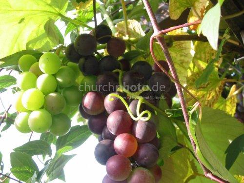 Grape - Traube